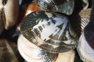 photo,material,free,landscape,picture,stock photo,Creative Commons,A short-necked clam, short-necked clam, Asari, bivalve, Shellfish-gathering