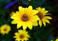 photo, la matière, libre, aménage, décrivez, photo de la réserve,Fleurs nettes et propres, jaune, , ,