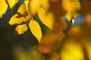 photo,material,free,landscape,picture,stock photo,Creative Commons,Zelkova changing colors, Yellow, Leaves, Leaf vein, Autumn color
