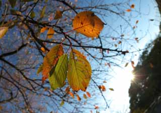 photo,material,free,landscape,picture,stock photo,Creative Commons,Cherry autumn leaves, Blue sky, Branch, Sun, Autumn leaves