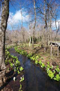 photo,material,free,landscape,picture,stock photo,Creative Commons,Skunk Cabbage waterside, White Arum, To tropical ginger, Skunk Cabbage, Marshland
