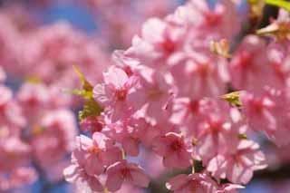 photo, la matière, libre, aménage, décrivez, photo de la réserve,Sakura Kawazu, Sakura, Sakura, Cerise, Sakura