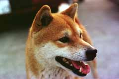 photo,material,free,landscape,picture,stock photo,Creative Commons,Jin, a shiba dog, dog, , ,