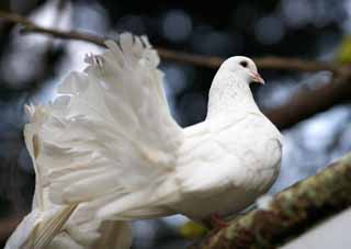 photo,material,free,landscape,picture,stock photo,Creative Commons,White pigeons, Hato, Pigeon, Dove, Wing