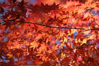 photo,material,free,landscape,picture,stock photo,Creative Commons,Red in late autumn, Autumn leaves, Maple, Maples, Color