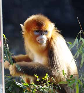 photo,material,free,landscape,picture,stock photo,Creative Commons,Golden Snub-nosed Monkey, Curious, Monkeys, Monkey, Son Goku