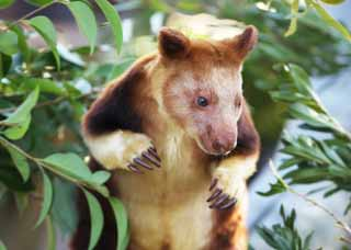 photo,material,free,landscape,picture,stock photo,Creative Commons,Tree-kangaroo, Kangaroo, New Guinea, , Endangered species