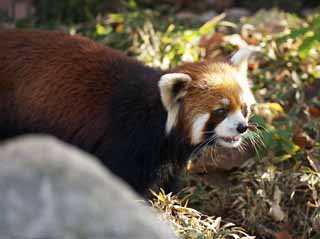 photo,material,free,landscape,picture,stock photo,Creative Commons,Red panda, Panda, PANDA, PANDA-A in the, Red panda