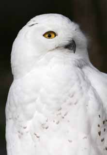 photo,material,free,landscape,picture,stock photo,Creative Commons,Snowy owl, White Owl, Catholic Owl, Snowy owl, Eyes