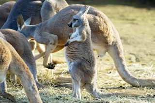 photo,material,free,landscape,picture,stock photo,Creative Commons,Red kangaroo, Kangaroo, Australia, Hot-for -, Marsupial