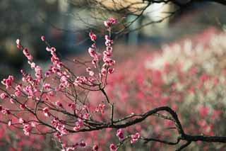 photo,material,free,landscape,picture,stock photo,Creative Commons,Plum Orchard's Red Plum Flower, UME, Plums, Plum, Branch