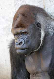 photo,material,free,landscape,picture,stock photo,Creative Commons,Gorilla, They GORI, Gorilla, Hominid, Silverback