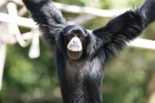 photo,material,free,landscape,picture,stock photo,Creative Commons,Siamang, Curious, Monkeys, SHIAMAN, S. syndactylus