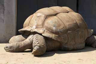 photo,material,free,landscape,picture,stock photo,Creative Commons,Aldabra giant tortoise, Land tortoises, Tortoise, Giant tortoise, Shell