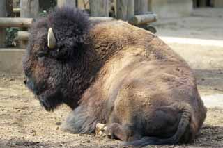 photo,material,free,landscape,picture,stock photo,Creative Commons,American bison, Artiodactyla, Buffalo, Bison,
