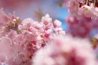 photo, la matière, libre, aménage, décrivez, photo de la réserve,Cherry Pink, Sakura, Sakura, Cerise, Sakura