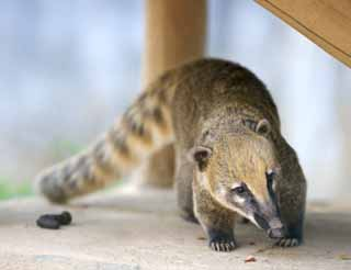 photo,material,free,landscape,picture,stock photo,Creative Commons,Nasua nasua, Raccoon, The bear's nose, Coati, Flowing tail