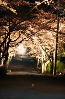 photo,material,free,landscape,picture,stock photo,Creative Commons,A going to see cherry blossoms at night tunnel, cherry tree, , , roadside tree
