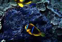 photo,material,free,landscape,picture,stock photo,Creative Commons,Anemone fish, fish, blue, ,