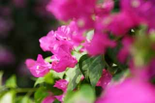 photo,material,free,landscape,picture,stock photo,Creative Commons,A bougainvillaea, bougainvillaea, The tropical zone, Tropical, I am gorgeous