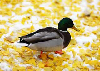 photo,material,free,landscape,picture,stock photo,Creative Commons,A mallard, duck, , , ginkgo