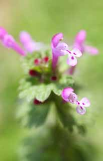 photo,material,free,landscape,picture,stock photo,Creative Commons,A henbit, , flower of the spring, park, floret