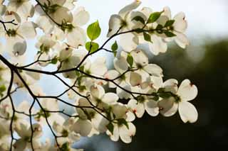 photo,material,free,landscape,picture,stock photo,Creative Commons,An American dogwood, An American dogwood, flower of the spring, Watch a flower; an enthusiast,