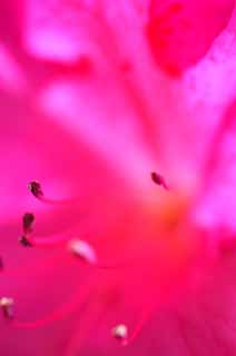 photo,material,free,landscape,picture,stock photo,Creative Commons,Pink brightness, An azalea, fantasy, color,