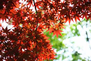photo,material,free,landscape,picture,stock photo,Creative Commons,The red colored leaves of the early summer, maple, Red, In spring, I turn red and yellow