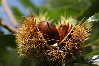 photo,material,free,landscape,picture,stock photo,Creative Commons,A chestnut, chestnut, , , marron