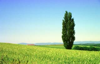 photo,material,free,landscape,picture,stock photo,Creative Commons,Poplar and a wheat field, tree, field, green, blue sky