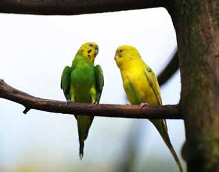 photo,material,free,landscape,picture,stock photo,Creative Commons,The conversation of the parakeet, parakeet, cough result parakeet, perch, friend