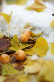 photo,material,free,landscape,picture,stock photo,Creative Commons,It is a ginkgo in snow, ginkgo, , , The snow