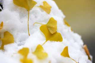 photo,material,free,landscape,picture,stock photo,Creative Commons,It is a ginkgo in snow, Colored leaves, ginkgo, Yellow, The snow
