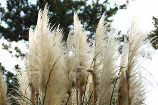 photo,material,free,landscape,picture,stock photo,Creative Commons,Plumes of pampas grass, pampas, Korea, ,