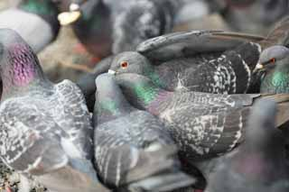 photo,material,free,landscape,picture,stock photo,Creative Commons,A flock of domestic pigeons, dove, , , wing