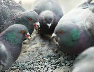 photo,material,free,landscape,picture,stock photo,Creative Commons,The quarrel of the domestic pigeon, dove, , , quarrel