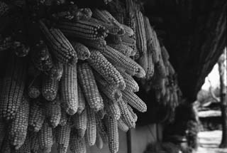 photo,material,free,landscape,picture,stock photo,Creative Commons,Corns hung under the eaves, food, , ,