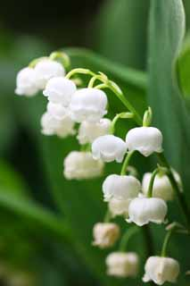 photo,material,free,landscape,picture,stock photo,Creative Commons,A lily of the valley, White, lily of the valley, ,