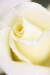 photo,material,free,landscape,picture,stock photo,Creative Commons,The center of a flower of the white rose, rose, , , I am pretty