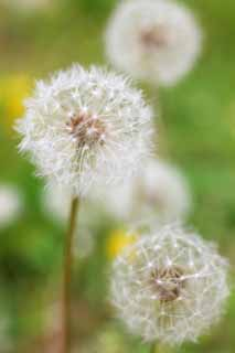 photo,material,free,landscape,picture,stock photo,Creative Commons,The cotton wool of the dandelion, dandelion, , Dan Delaware ion, coltsfoot snakeroot dandelion