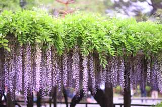 photo,material,free,landscape,picture,stock photo,Creative Commons,The wisteria trellis of Byodo-in Temple, Purple, , Japanese wistaria,