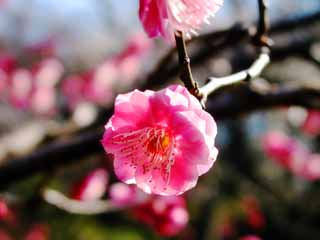 photo,material,free,landscape,picture,stock photo,Creative Commons,Red plum blossom, plum, red plum, ,