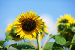 photo,material,free,landscape,picture,stock photo,Creative Commons,A sunflower, sunflower, , ,