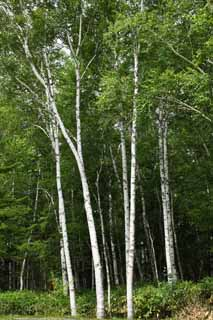 photo,material,free,landscape,picture,stock photo,Creative Commons,White birch forest, , White birch, white birch, virgin forest