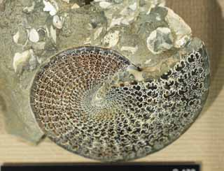 photo,material,free,landscape,picture,stock photo,Creative Commons,An ammonite, fossil, An ammonite, pumpkin stone, Amon shellfish