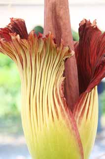 photo,material,free,landscape,picture,stock photo,Creative Commons,World's greatest flower Amorphophallus titanum, Putrid smell, huge flower, Konnyaku,