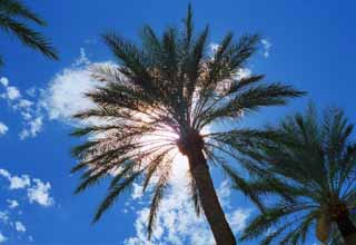 photo,material,free,landscape,picture,stock photo,Creative Commons,Palm tree in the sun, blue sky, palm, ,