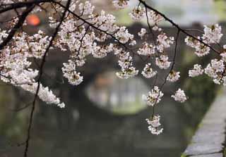 photo, la matière, libre, aménage, décrivez, photo de la réserve,Arbre de cerise Kurashiki, arbre de la cerise, arbre de la cerise, pont, Japonais fait une culture